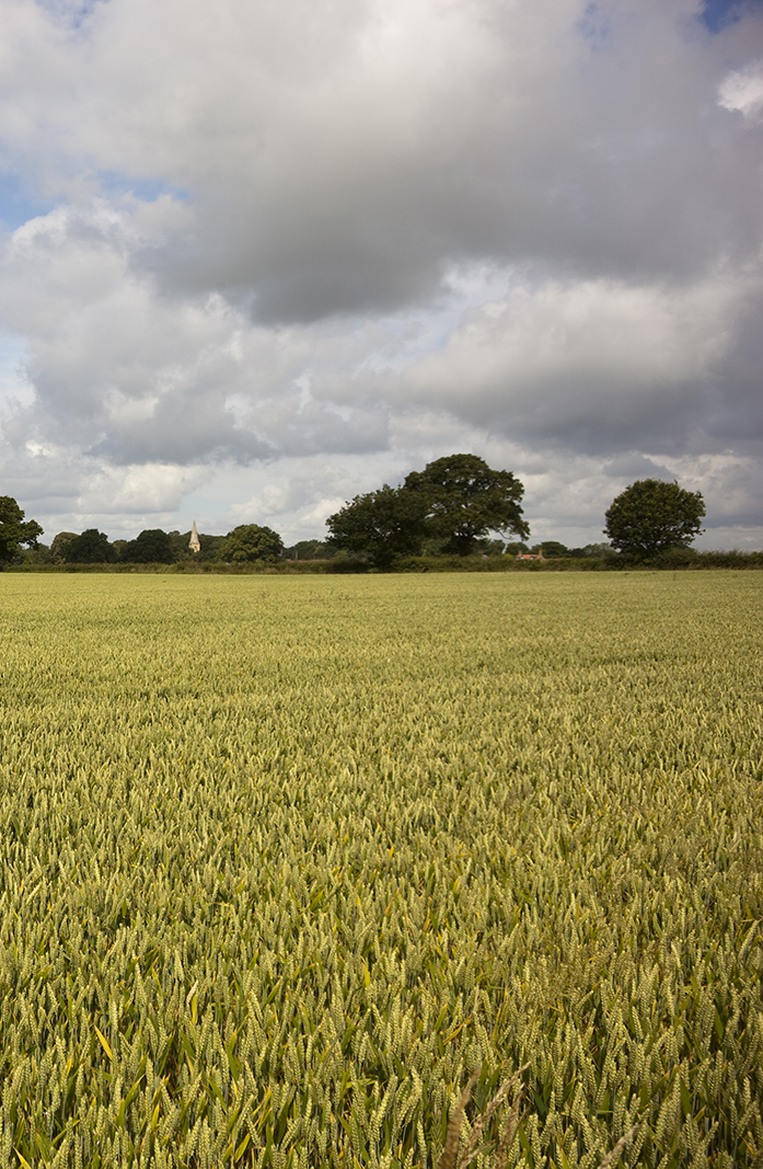 ripening field of wheat with trees in background